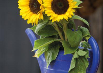 38_Sonnenblumen